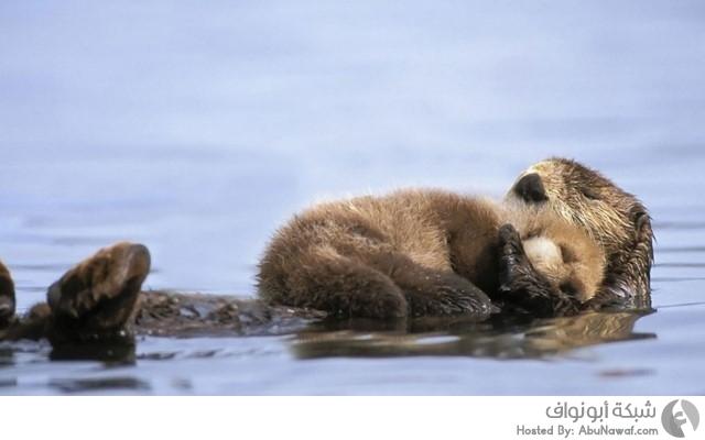 سنجاب وصغيره فوق الماء