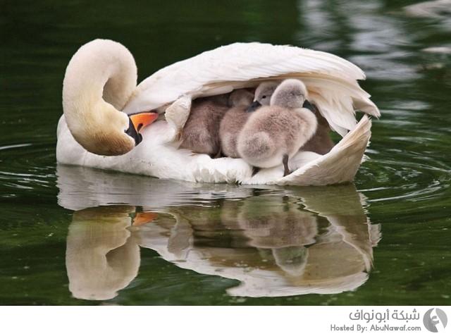 طيور برفقة صغارها