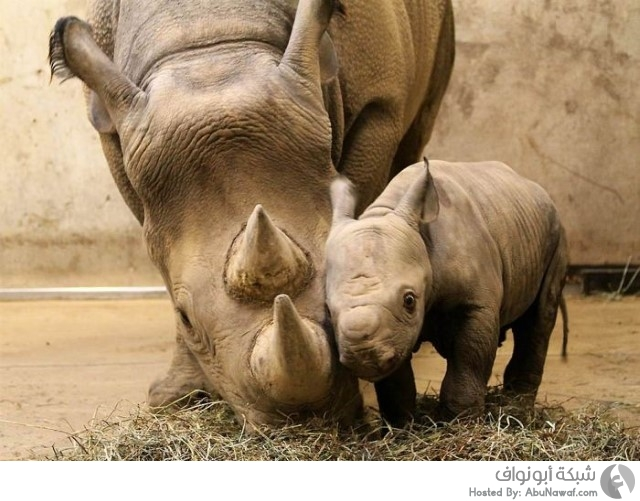 وحيد القرن مع صغيره