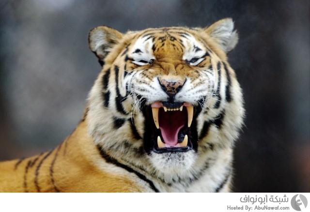 نمر داخل حديقة حيوانات 1