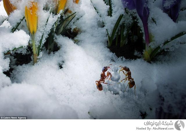 نمل يعيش مثل البشر