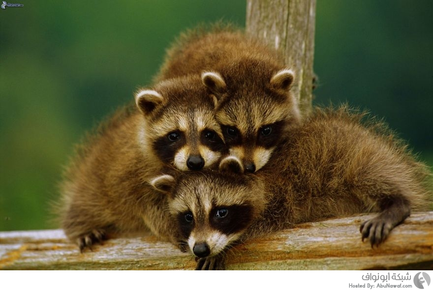 صور حيوانات برية 10