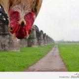 رأس دجاجة