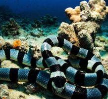 ثعبان البحر أصفر الشفاة