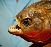 سمك البيرانا القاتل
