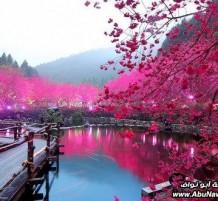مهرجان زهرة الكرز