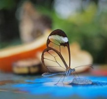 الفراشة الشفافة