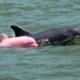 دلفين وردي