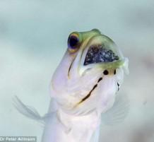 سمكة تضع أبنائها بفمها