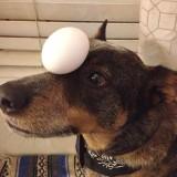 كلب يحمل بيضة على رأسه