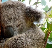 حيوان الكوالا