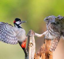 طائر البوم ونقار الخشب