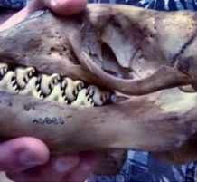 أسنان الفقمة