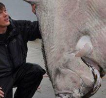 أكبر سمكة هلبوت