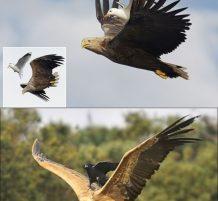 طيور كسلانة