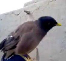 طائر يبكي مثل رضيع حقيقي