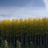 أشجار البتولا