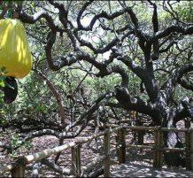 أكبر شجرة كاجو