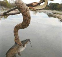 ثعبان يصيد سمكة