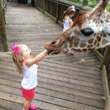 زرافة تأكل يد طفلة