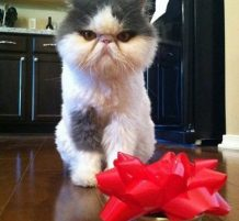 قطة معصبة