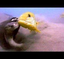 سلحفاة بمواجهة سمكتين