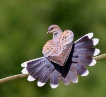 الطائر القميري