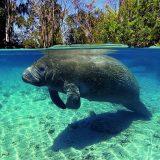خروف البحر