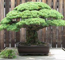 شجرة نجت من هايروشيما