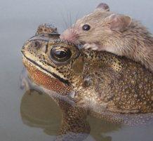 ضفدع ينقذ فأر من الغرق