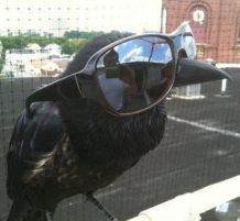 غراب يلبس نظارة
