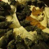 فئران نائمون مع القط