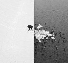إطعام البجعات في الثلج