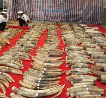تهريب 12 طن من أنياب الفيل