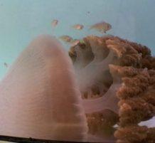 قنديل البحر السام