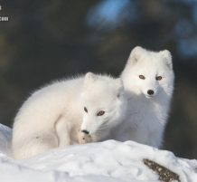 الثعلب القطبي