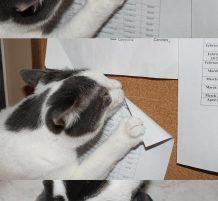 قط ماكر