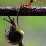 نملة تساعد حلزونة