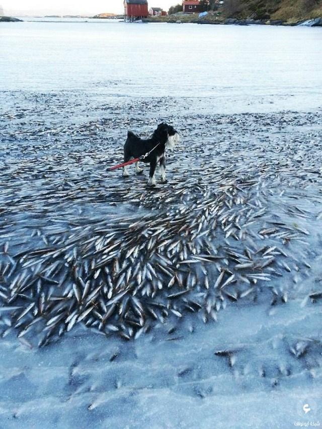 أطنان من السمك تتجمد