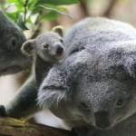 الكوالا