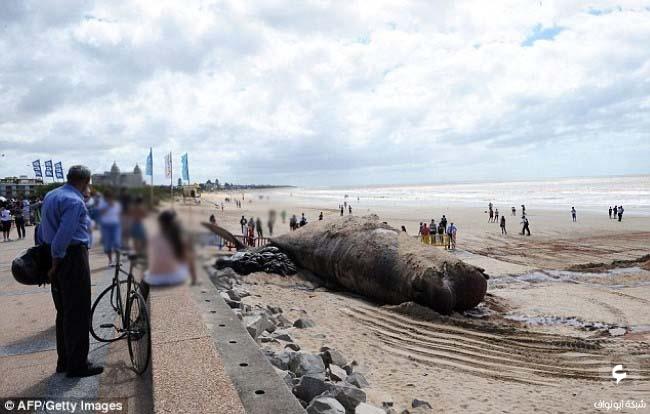حوت عنبر ميت على الشاطئ