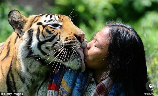 صداقة غريبة تجمع بين شاب و نمر بنغالي