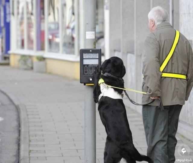 فاقد للبصر يستعين بكلبه المخلص ليساعده في عبور الشارع