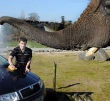 فيل يساعد صاحبه بغسل السيارة