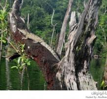 التماسيح قادرة على تسلق الأشجار