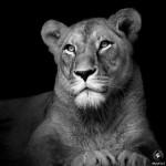 الحيوانات باللون الأبيض والأسود
