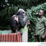 الشامبانزي واندا ومربيتها التي صارعت الموت معها