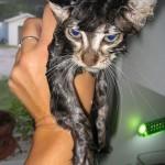 القطط بعد الاستحمام