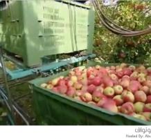 حصد وجمع التفاح