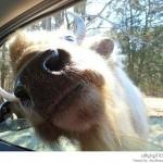 حيوانات على أبواب السيارات